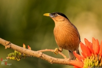 Brahminy Starling photographed at Nagpur, India (March 2018)