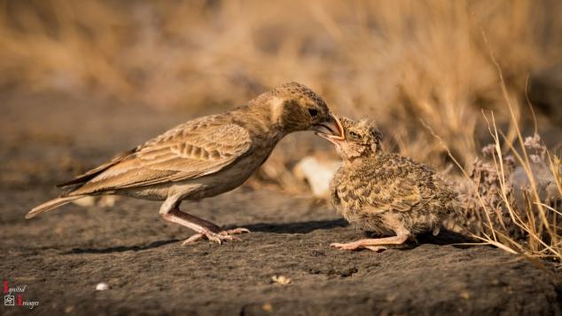 Ashy-crowned sparrow-lark feeding her chick, Nov 2018
