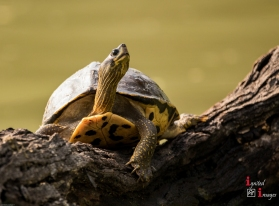 Turtle at Keoladeo National Park, India (Dec 2017)