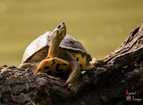 Turtle at Keoladeo National Park, India (Dec 2017)