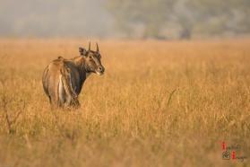 Bluebull at Keoladeo National Park, India (Dec 2017)