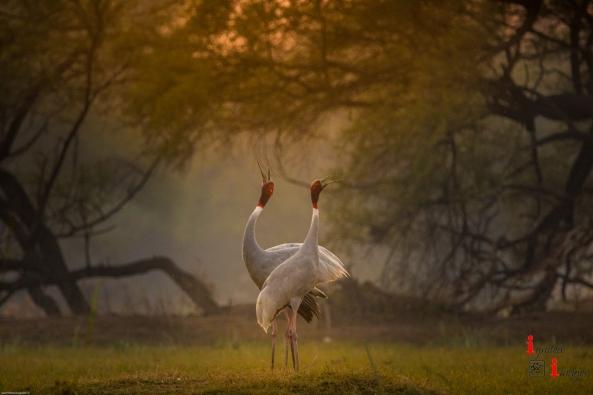 Sarus Cranes at Keoladeo National Park, India (Dec 2017)