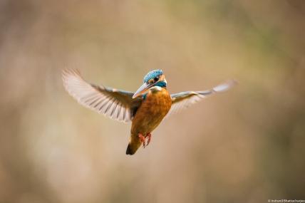 Small blue Kingfisher, Jan 2018