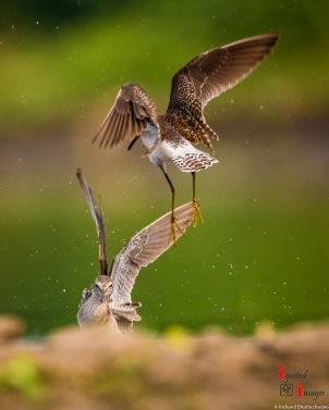 Wood sandpipers fighting for territory at a lake near Nagpur, India (March 2018)
